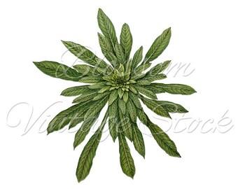 Green Botanical Print, Suculent Plant, PNG Image - Digital Antique Illustration  INSTANT DOWNLOAD - 1544