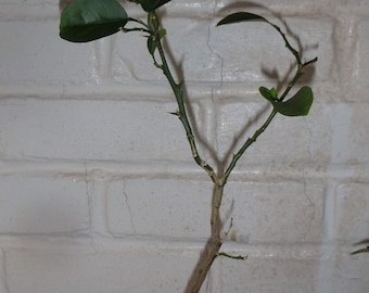 Citrus Grapefruit seedling for use as rootstock, 2 years old, exact plant, shipped with soil