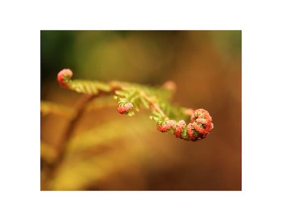 Fern photography, fern photo, Japanese shield fern, fern crozier, fern fiddlehead, fern frond, fern unfurling, fern art, fern macro photo