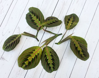 Maranta Red CUTTINGS Red Prayer Plant Cuttings