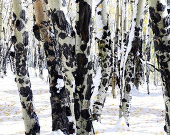Aspen trees fall photo, Snowy trees art. rustic home decor, log cabin decor, livingroom bedroom wall art, Colorado art | White Autumn