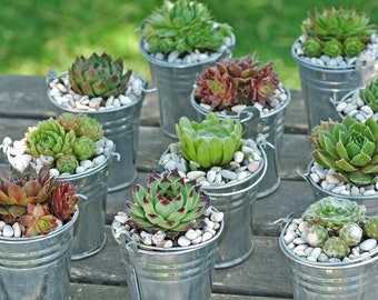 49 Succulent Favors / Hen And Chicks / Succulent Gifts / Live Succulent Place Cards / Bulk Small Succulents Wedding Favor Decoration Shower