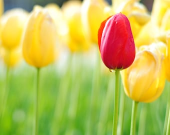 Nature Photography: Yellow and Red Tulips PRINT