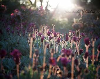 Backlight : flower photo backlit photography floral field sun sunlight spring summer garden surreal home decor 8x12 12x18 16x24 20x30 24x36
