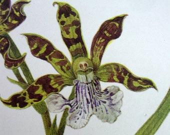 Exotic Orchid Botanical Print, Vintage Orchid Illustration, Zygopetalum crinitum  No. 140