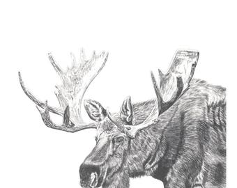 moose fine art print wildlife