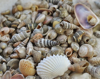 Tiny Seashells for Miniature Garden, Fairy Garden