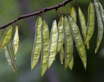 American Redbud Pods - botanical photograph - art nature photography green summer woodland