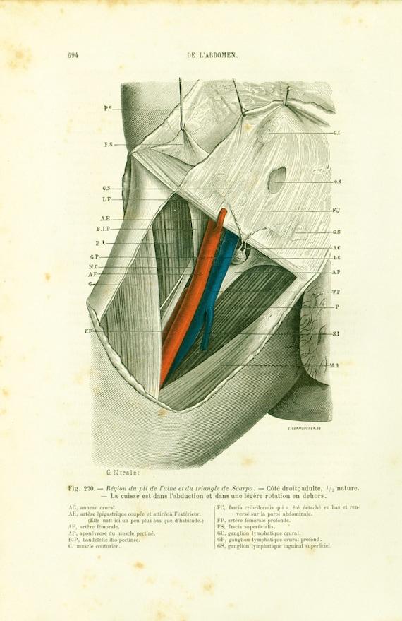 Ähnliche Artikel wie 1897-Anatomie der Leistengegend, Region der ...