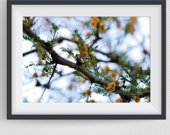 Acacia Karoo Tree Flowers, Flower Photography, Botanical Print, Printable Wall Art, Digital Download, Flowers and Nature, African Flower
