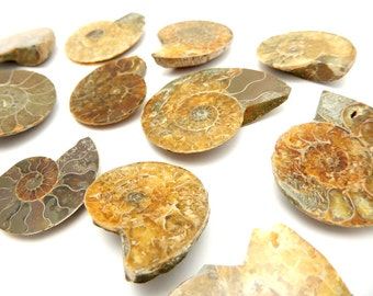 Large Ammonite Fossil -- Ammonite Fossil 30-59 mm by Piece (RK1B2-01)