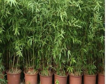 Bamboo Tree 50+ Seeds (Dendrocalamus Strictus) Rare!