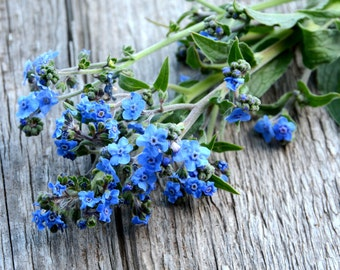 Forget Me Not Seeds, Chinese Forget Me Not, Cynoglossum amabile, Firmament Heirloom Seed, Easy to Grow Flower Seeds, Annual Flower Seeds