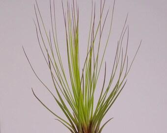 Tillandsia Juncea Red-Green Air plants