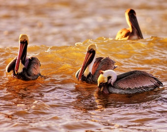 Morning_Coffee pelicans. Nature photography print. SKU#Napping_Pelican BLACKROCK_010
