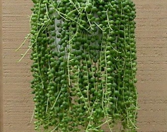 String Of Pearls (set of 5 cuttings) Succulent Cactus Senecio, easy to root