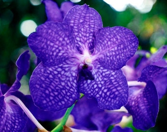 Blue Vanda Orchid Fine Art Photo Greeting Card Flower Photography - Nature Photography - Notecard Blank - Blue Orchid Card Made In Hawaii