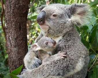 BABY KOALA Hugging MOM Photo, Koala Bear, Baby Nursery Print, Baby Animal Photograph, Nursery Wall Art, Kids Room, Safari, Koala Joey, Zoo
