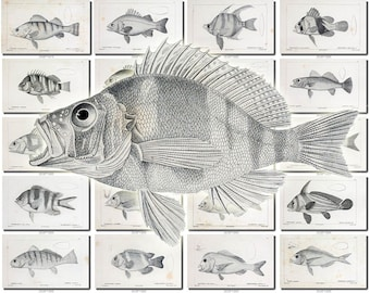 FISHES-41-bw Collection of 149 vintage images Perch Carp Common Pomotis pictures High resolution digital download printable water animals