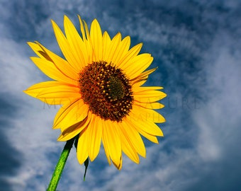 Photograph of a Vibrant Yellow Sunflower Against a Blue Sky