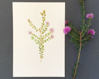 Flower illustration, botanical art, australian native, Honey Myrtle, art print, watercolour painting