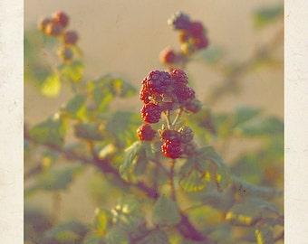 Blackberry Photography, Vintage Style Blackberry print, Fruit Photography, Still Life Photography, Afternoon Sun Photography, Kitchen Decor