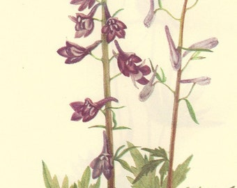 Vintage 1968 Color Print Wild Flowers of America Book PLATE 114 115 Dwarf Larkspur and Tall Larkspur