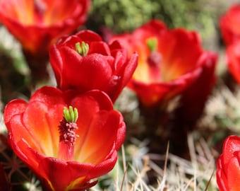 Claret Cup Cactus Flower Digital Photography Instant Download