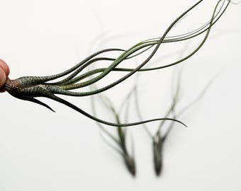 Tillandsia Butzii - Wild Spotted Air Plant