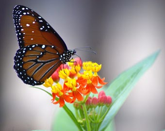 MONARCH BUTTERFLY  on Flower 5x7 photo greeting card, blank inside, home decor, nature photography,stationary