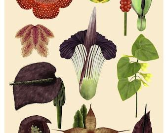 Carrion Flowers, Botanical Illustration, Botanical Drawing, Corpse Flower, Plant Print, Plant Illustration