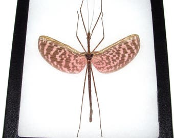 Real framed pink black wings walking stick bug Diesbachia tamyris