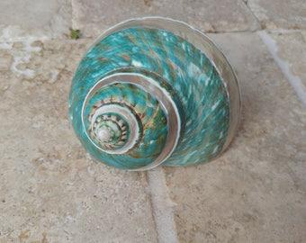 Turbo Shell -  Jade Turbo Shell - Natural Turbo - Polished Jade Seashell - Polished Jade Turbo - Pearlized Shell - No. 203