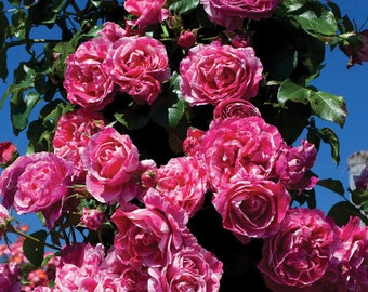 Raspberry Cream Twirl ™ Rose Bush 100+ Petals Pink And White Striped Climbing Rose Plant Organic Grown Potted Own Root Rose