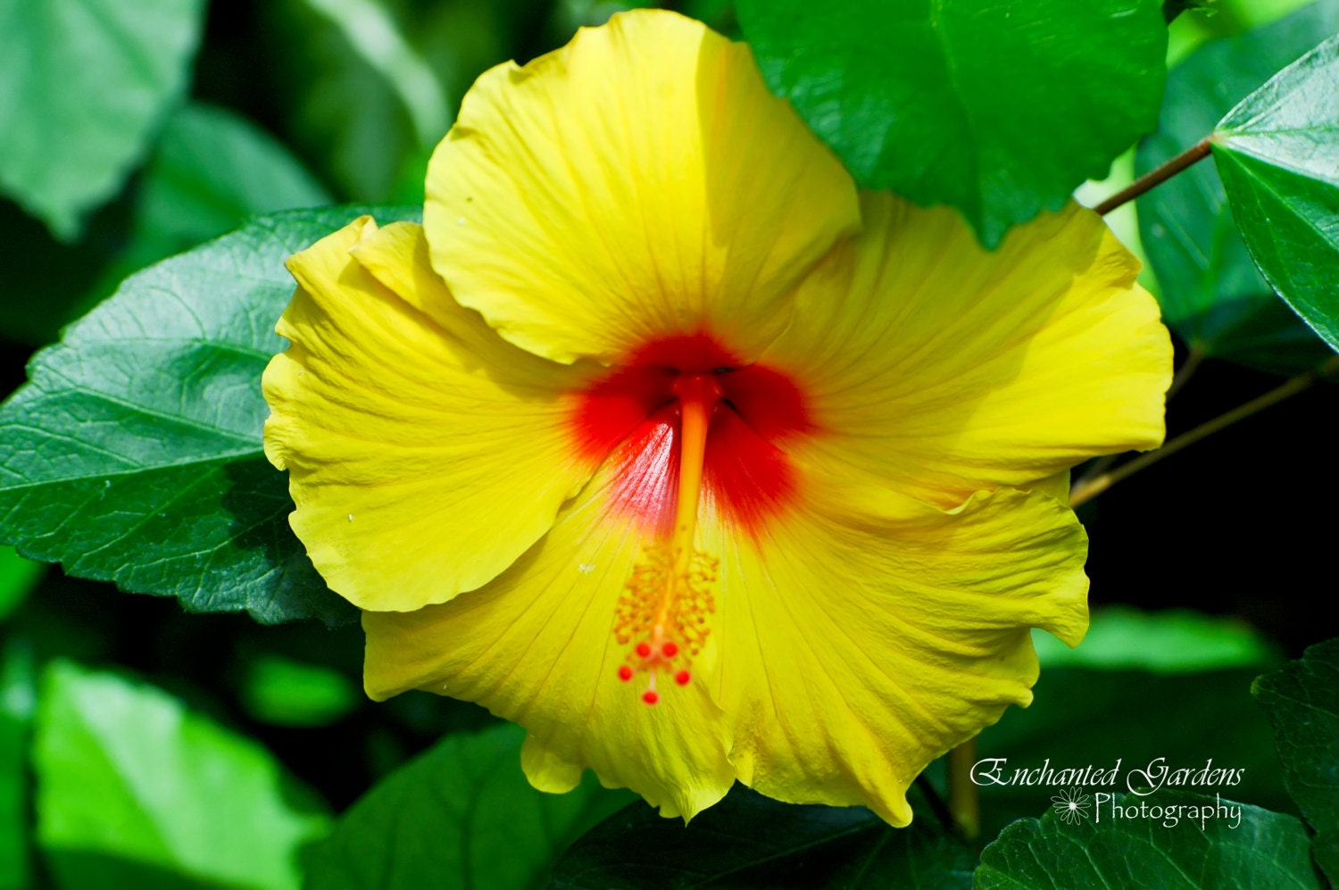 Yellow hibiscus tropical flower bright yellow cards description hibiscus flowers izmirmasajfo Gallery