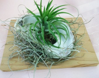 Oyster Shell with Spanish Moss on Hickory plank Airplant Arrangement