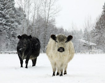 White  and  Black Cows  in the Snow Animal Photography French Country