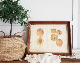 Antique Fruit Botanicals in Antique Frame / Peach and Persimmons