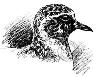 Pacific Golden Plover pencil drawing - bird art, wildlife art - nature print of original artwork