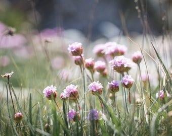 Seaside Wildflower Print - Pretty Sea Pinks Fine Art Photograph - Irish Botanical Art