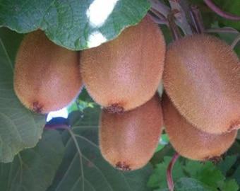 100 Kiwi Fruit Tree Seeds, Actinidia Chinensis