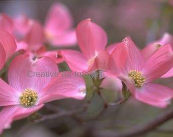 Pink Dogwood Blossoms, Canvas Print, Photograph #157