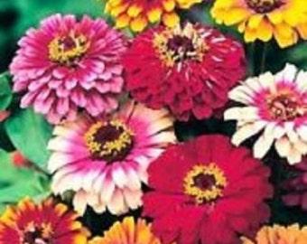 50+ Zinnia Mix Flower Seeds