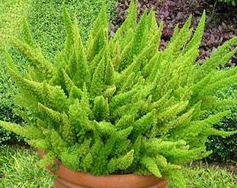 Asparagus Densiflorus 'Mazeppa' - 20 Seeds - Asparagus Foxtail Fern