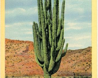 Sahuaro Cactus World's Largest Botanical Vintage Postcard (unused)