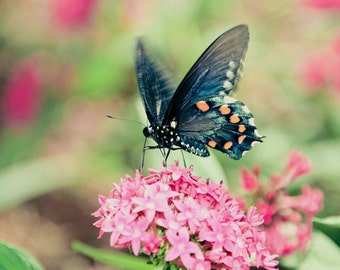 Blue Pipevine Swallowtail Butterfly Fine Art Print