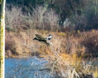 Geese Takes Flight