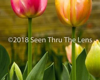 Pair of Tulips - Photographic Print
