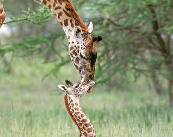 BABY GIRAFFE and MOTHER Photo Print, Mom and Baby Animal Photograph, Wildlife Photography, Kids Room Decor, Nursery Art, African Safari, Zoo