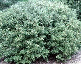 50 Gray Dogwood Tree Seeds, Cornus racemosa